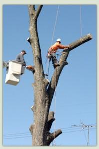 Scottsdale tree removal