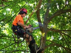 Scottsdale tree trimming