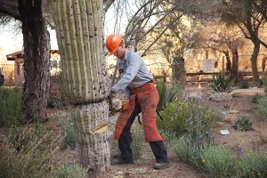 Scottsdale,AZ Cactus Removal